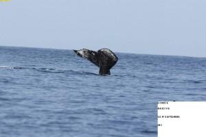 Nager avec les baleines! Extraordinaire!!! 7844_369035056533141_974161696_n-300x200